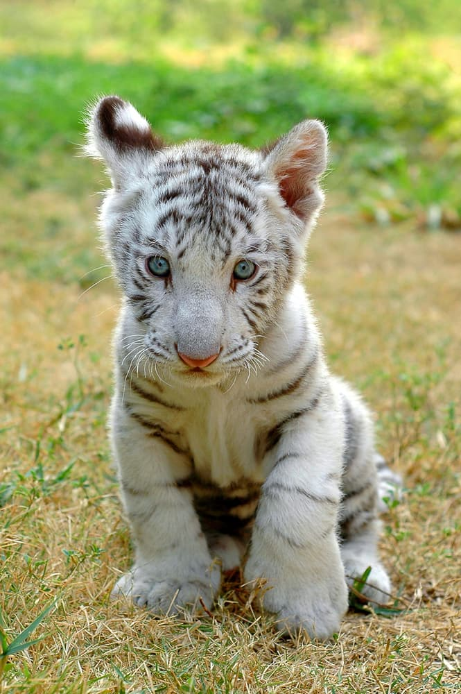 Nature Story: #11 White tiger