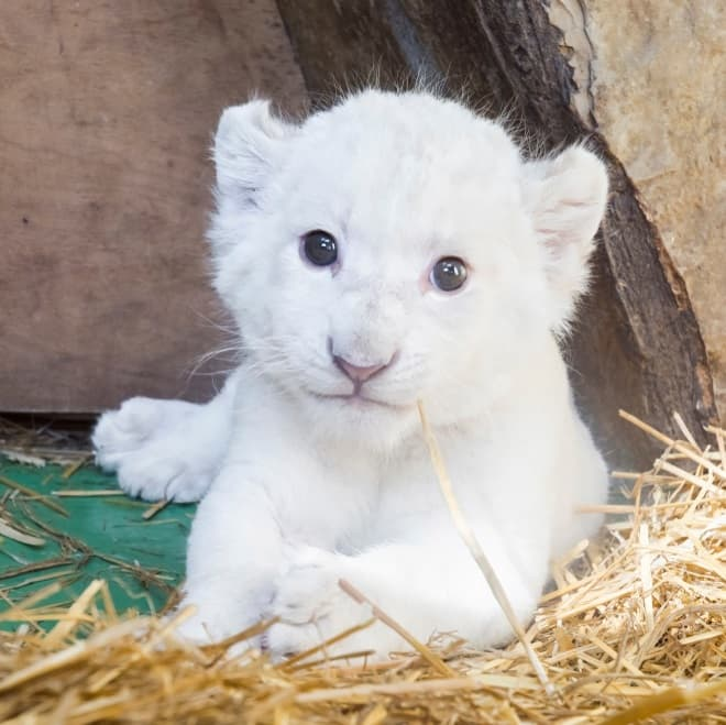 Nature Story: #12 White lion