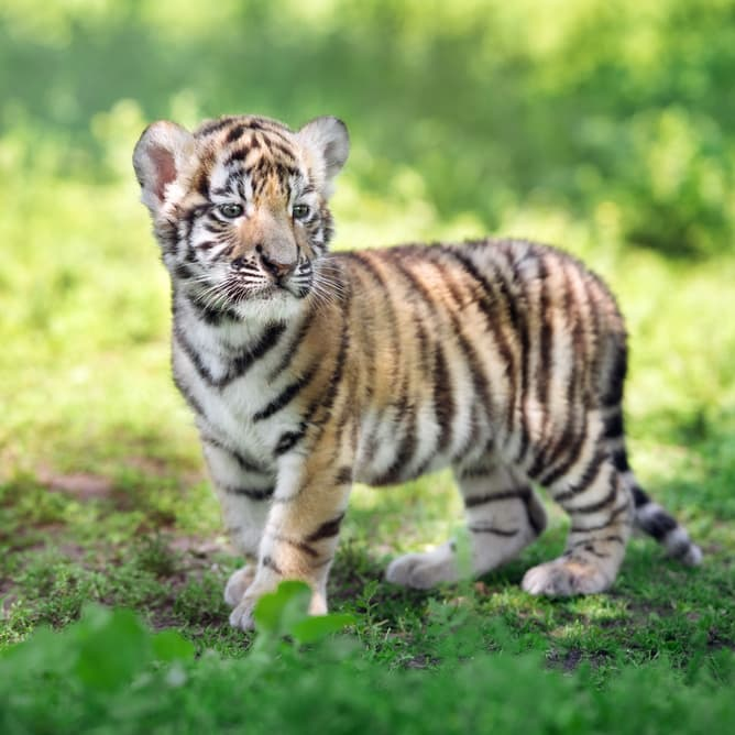 Nature Story: #2 Tiger