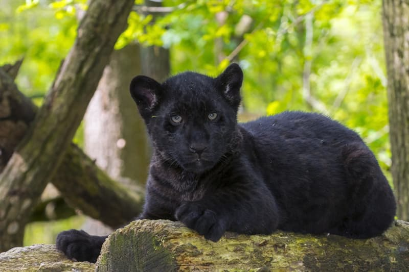 Nature Story: #3 Black jaguar