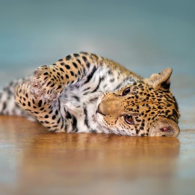 Nature Story: #4 Jaguar