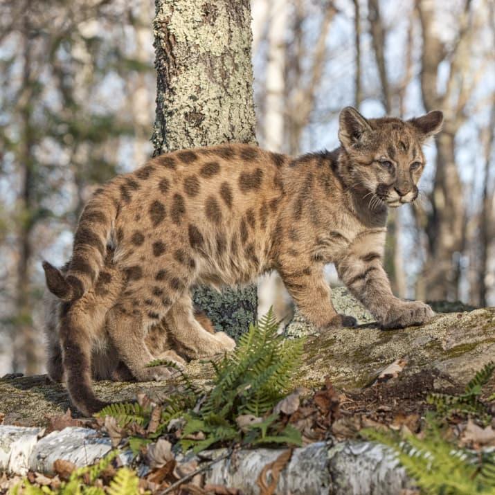 Nature Story: #5 Cougar
