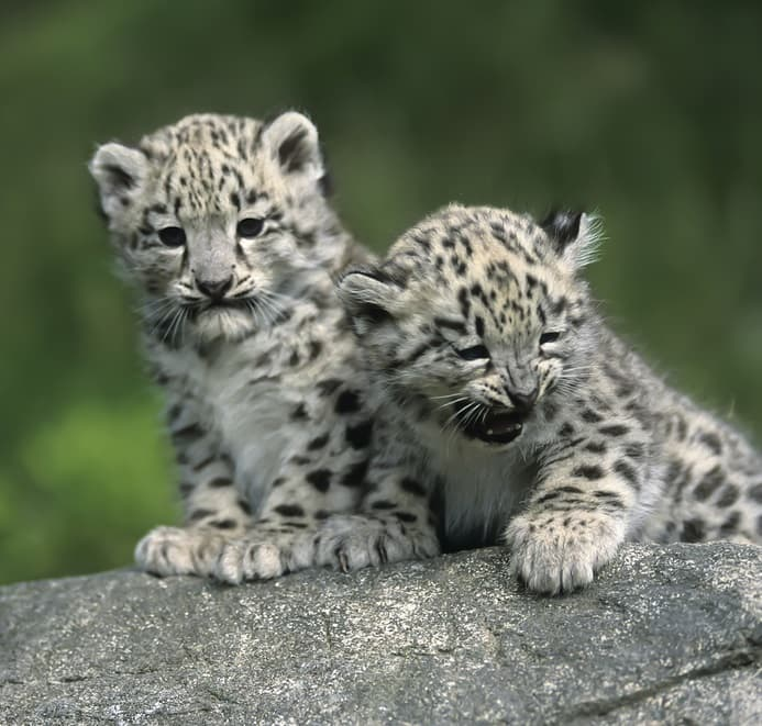 Nature Story: #6 Snow leopard