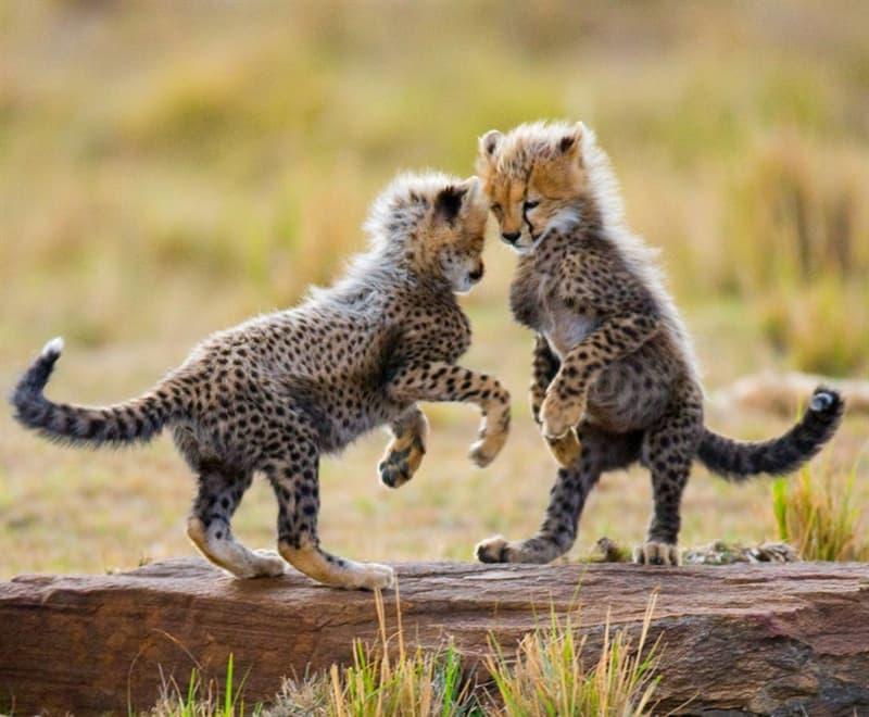 Nature Story: #7 Cheetah