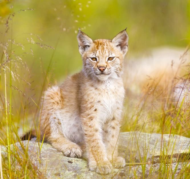 Nature Story: #8 Lynx