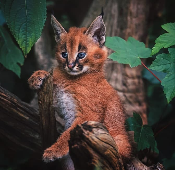 Nature Story: #9 Caracal