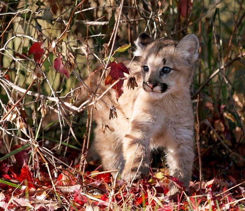 Nature Story: Little big kittens – meet the sweetest big cat cubs