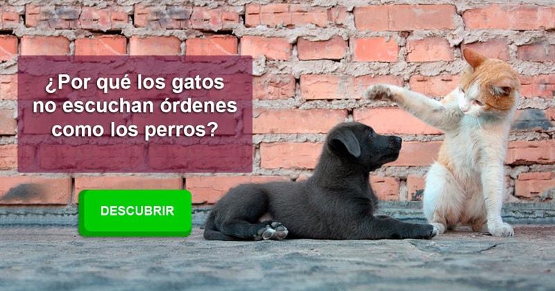 Animales Historia: ¿Por qué los gatos no escuchan órdenes como los perros?
