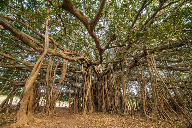 Geography Story: #9 Amazing Banyan Tree