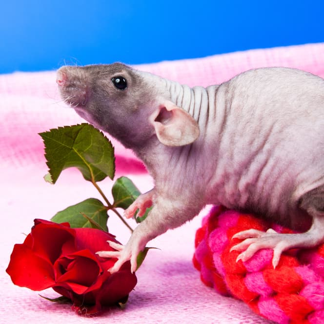 Nature Story: #6 Rat