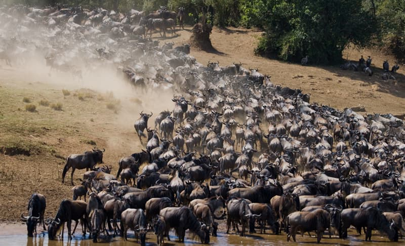 Nature Story: #4 Big herd of wildebeests