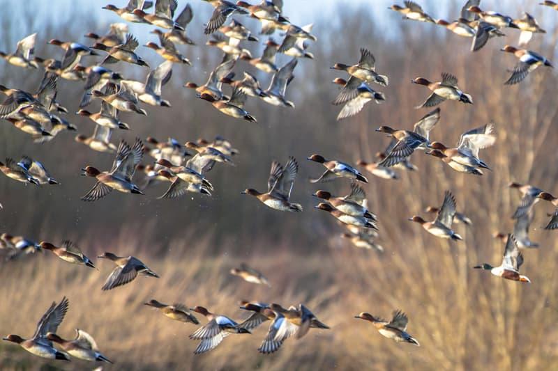 Nature Story: #7 Migrating ducks