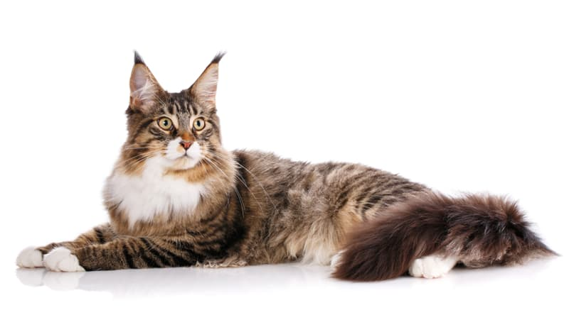 Nature Story: #1 Maine Coon