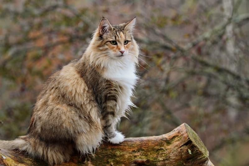 Nature Story: #4 Norwegian Forest