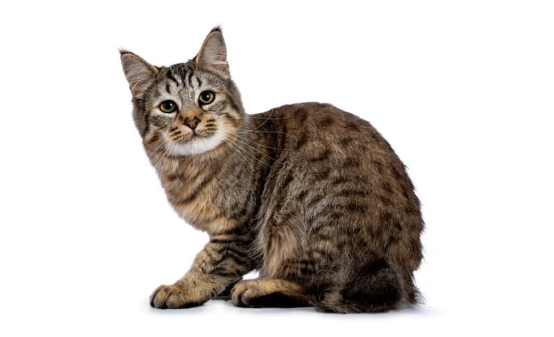 Nature Story: #6 Pixiebob cat