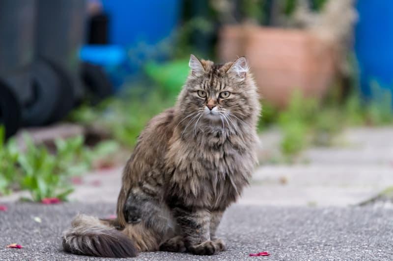 Nature Story: #9 Ragamuffin cat
