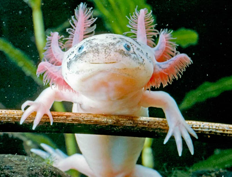 Nature Story: #2 Axolotl or Mexican walking fish