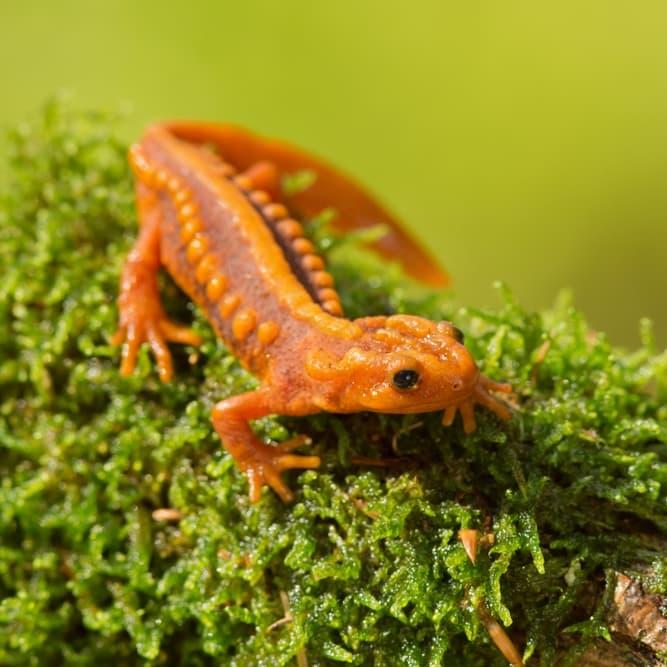 Nature Story: #4 Mandarin salamander