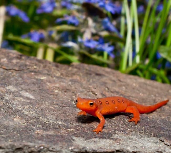 Nature Story: #5 Red salamander