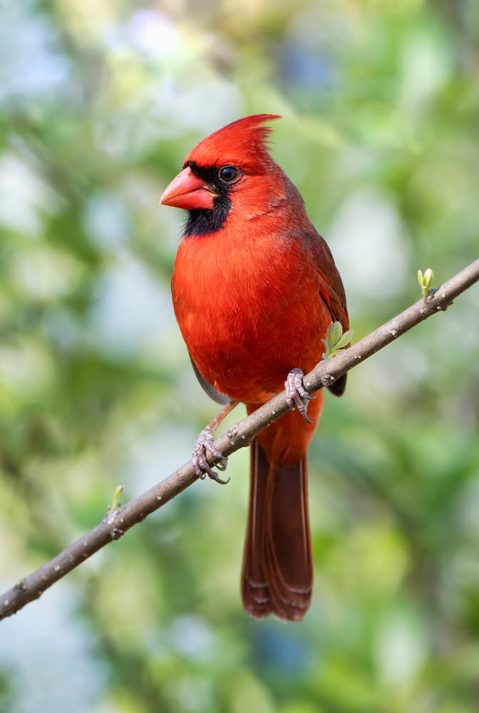 Nature Story: #1 Northern cardinal