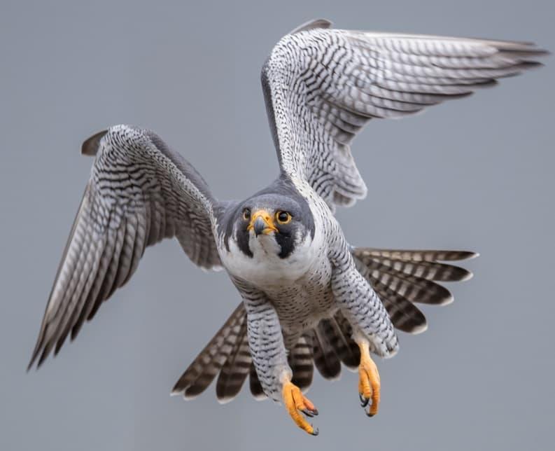 Nature Story: #5 Peregrine falcon