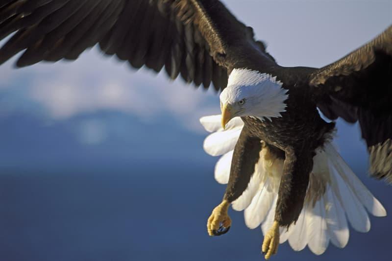 Nature Story: #6 Bald eagle