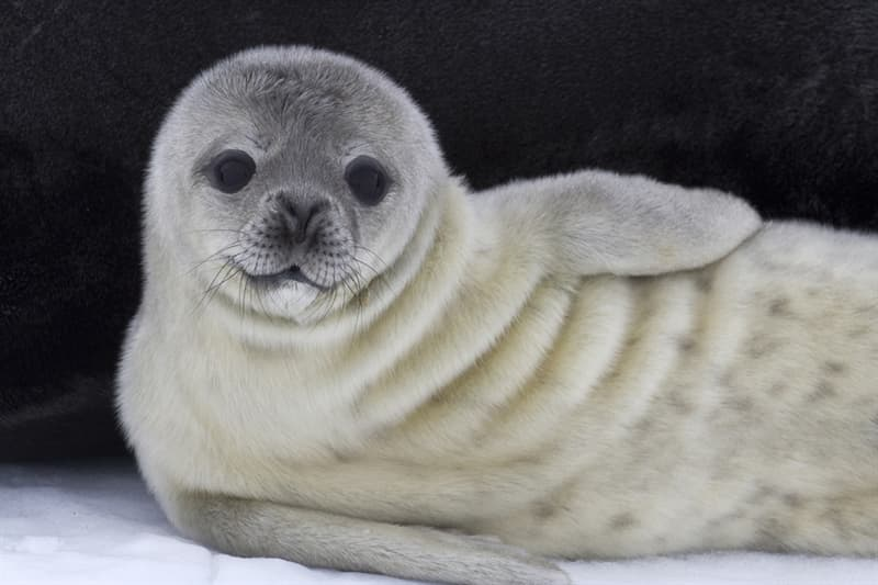Nature Story: #11 Weddell seal pup near his mother