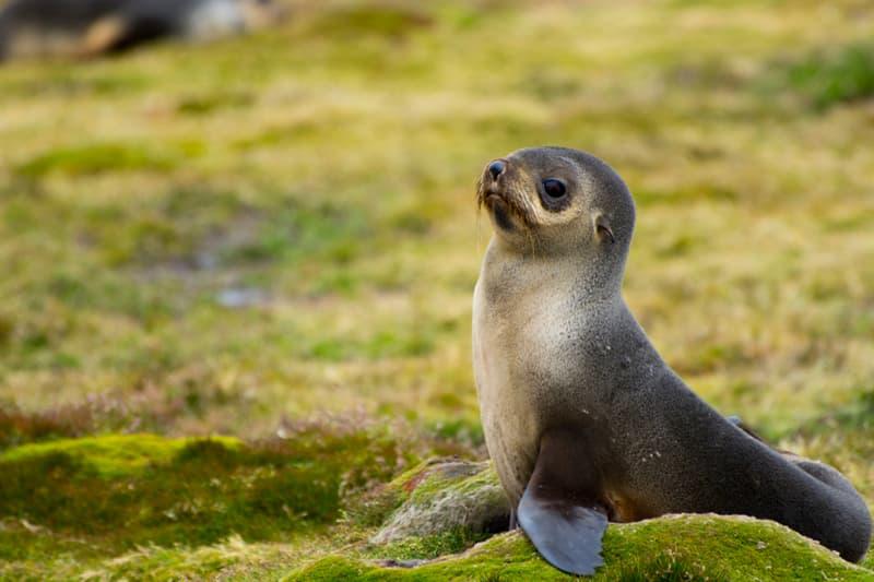 Nature Story: #12 Antarctic fur seal pup
