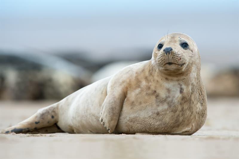 Nature Story: #2 Atlantic seal