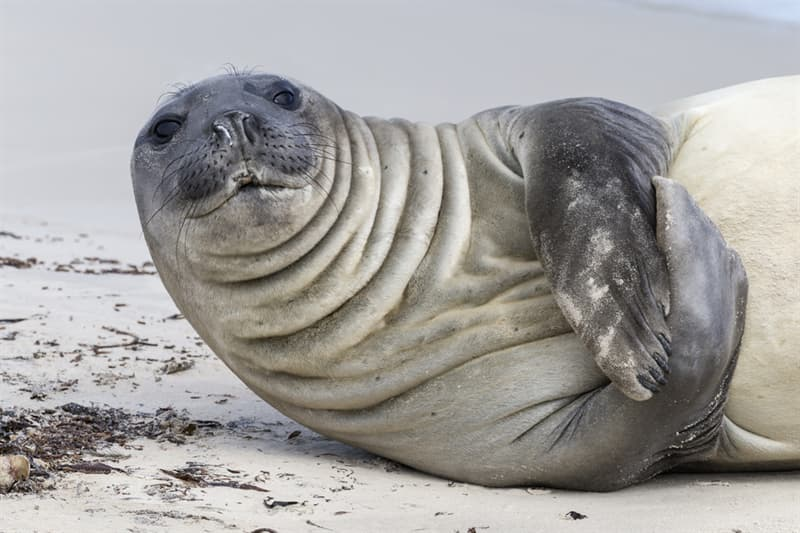 Nature Story: #3 Southern elephant seal