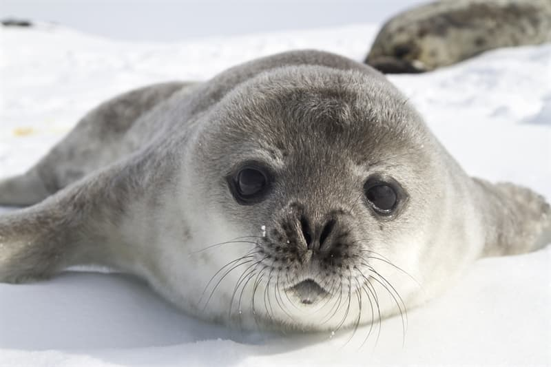Nature Story: #9 Crabeater seal