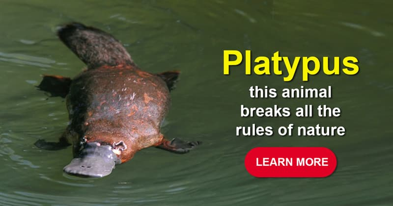 Nature Story: The platypus is the most incredible creature on Earth – and these 7 facts prove it