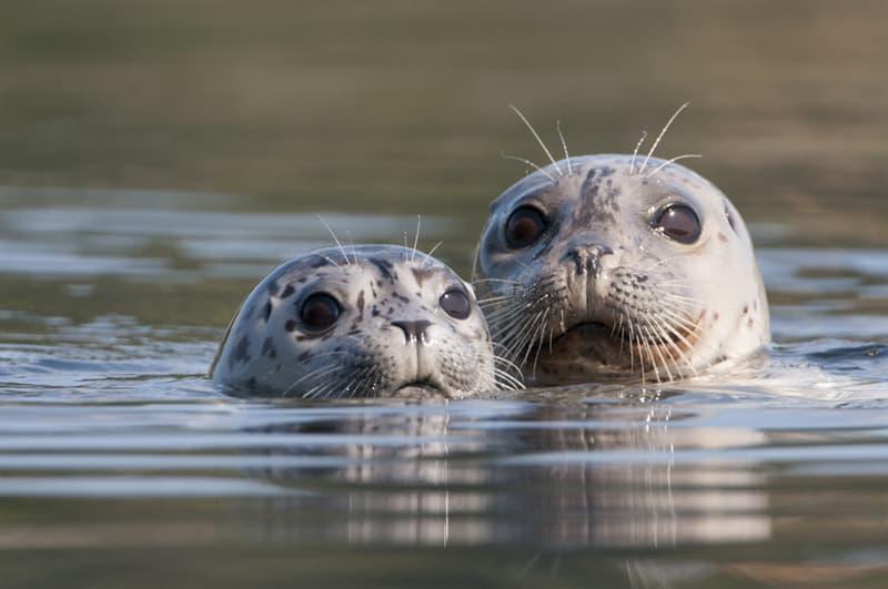 Nature Story: #10 Harbor seals