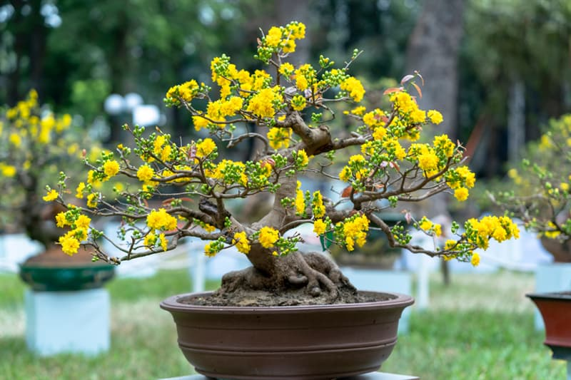 Culture Story: Some tree species are more popular for bonsai due to their small leaves and needles