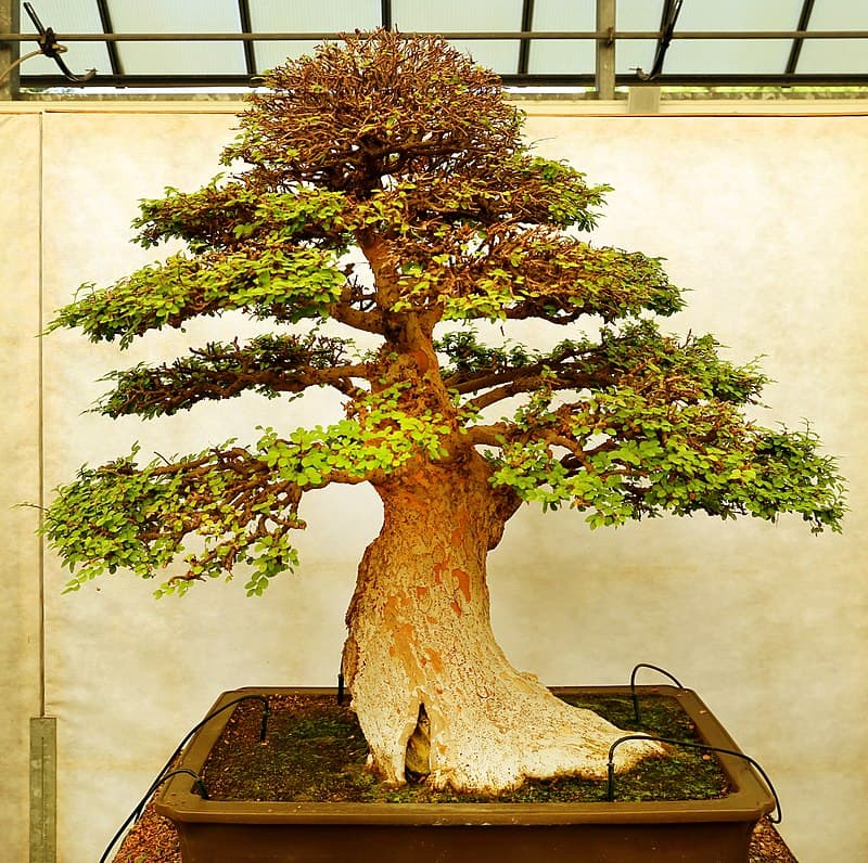 Culture Story: This bonsai is about 120 years old: