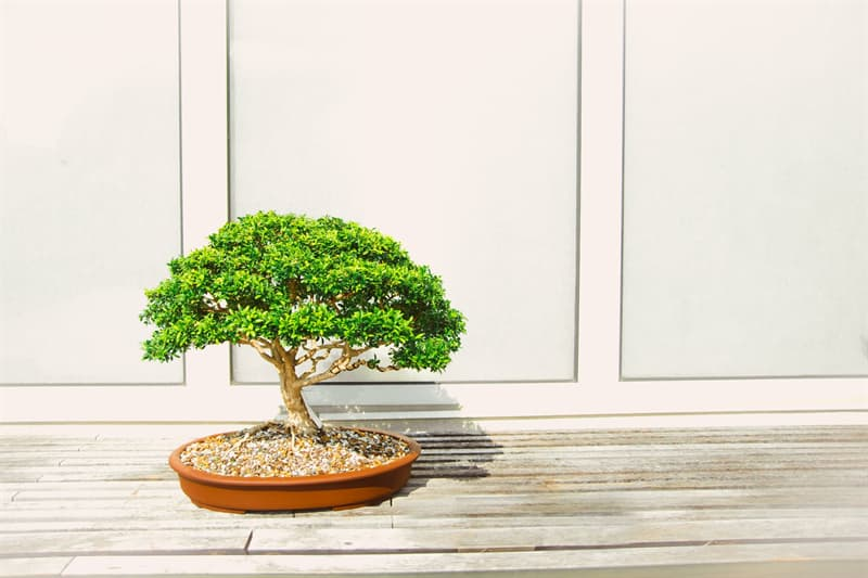 Culture Story: The ultimate goal of this Japanese art form is to cultivate, in containers, small trees that look exactly like full size trees
