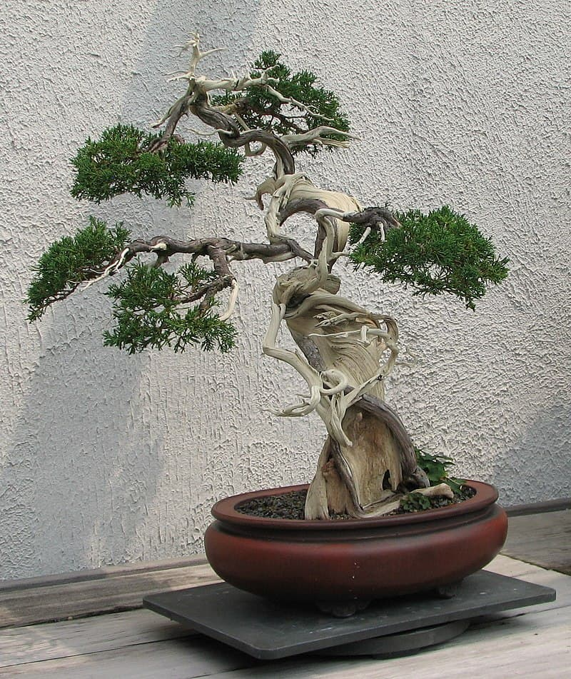 Culture Story: Bonsai trees can live just as long as full sized trees, but they need constant care – otherwise they just grow wild and spread out of containers