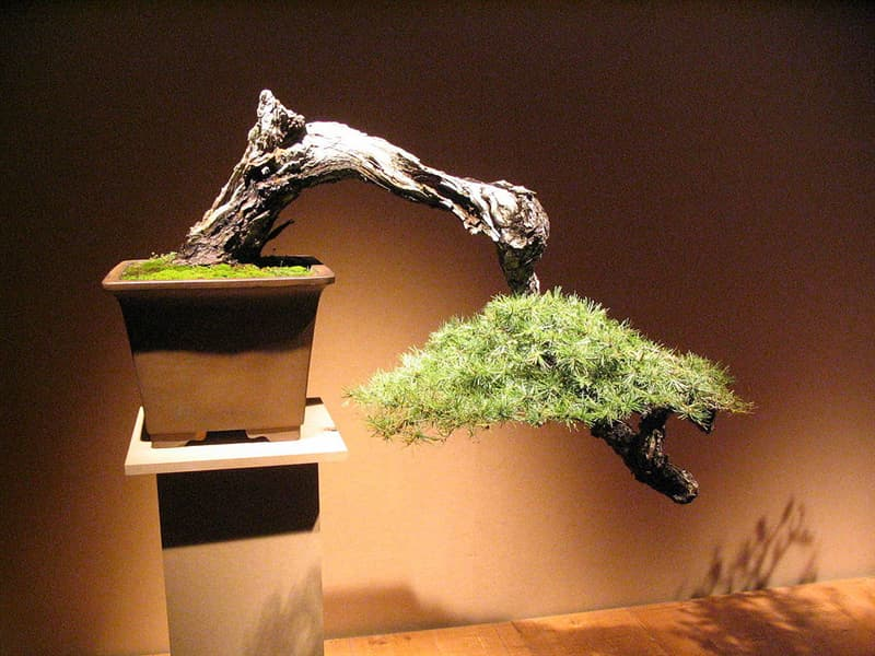 Culture Story: There are many styles of bonsai. Cascade-style conifer is in the picture: