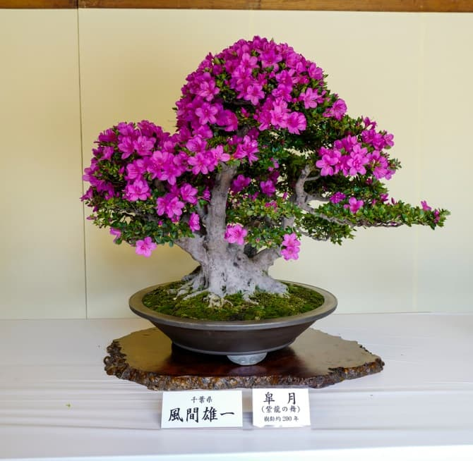 Culture Story: The tiniest trees – enjoy the beauty of the ancient art of bonsai