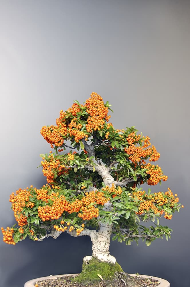 Culture Story: Flowers and fruits can also grow on bonsai trees. Popular species with fruits include fig, crabapple, lemon, orange, mulberry and cherry