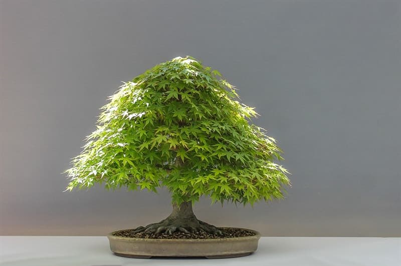 Culture Story: Bonsai reached the highest level of expertise only in the 14th century