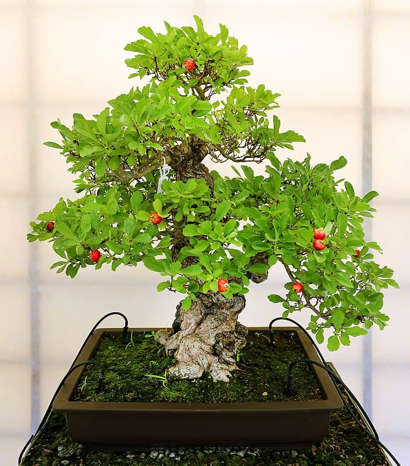 Culture Story: Any tree species can be used to grow a bonsai – they are not genetically dwarfed plants