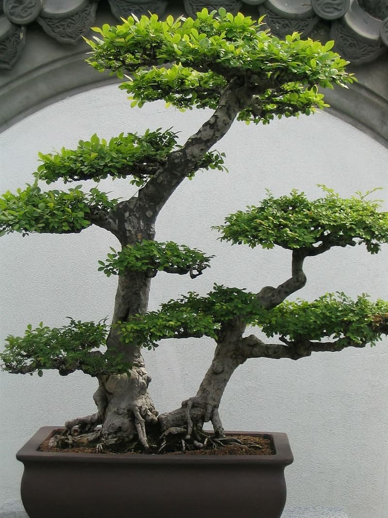Culture Story: To keep such a tree small, one needs to cut and reshape its branches and roots all the time