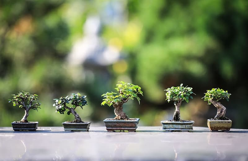 Culture Story: The smallest bonsai trees are usually about 1 to 3 inches tall (3 to 8 cm)