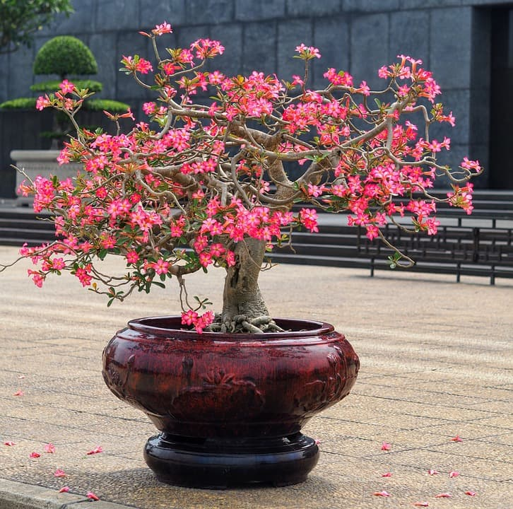"""Culture Story: Bonsai originated in Japan in the 6th century from the Chinese practice of penjing, which is very similar to bonsai, but allows more """"wild-looking"""" trees"""