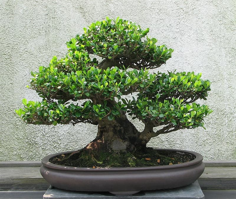 Culture Story: Anyway, professional bonsai artists sometimes choose species with large leaves on purpose – it complicates the whole process and makes it more interesting