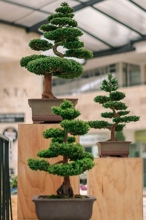 Culture Story: To keep the leaves small, most bonsai artists cut the largest ones off (not disturbing the stem)