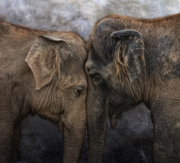 Nature Story: #1 Elephants live in families for all their life and know their relatives – even grandparents. Though they live in matriarchal groups, a male will always protect the female who is carrying his child