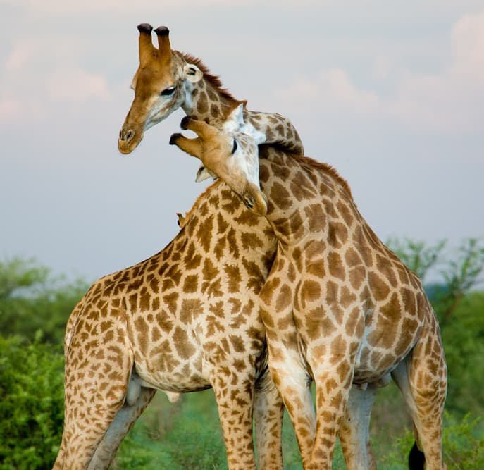 Nature Story: #5 Before mating, a male giraffe may be walking around the female he's chosen for several days, waiting for the right time.