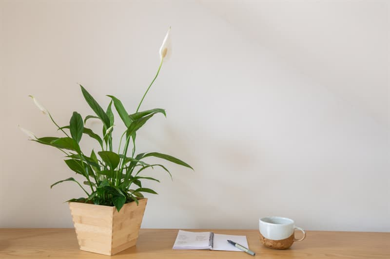Society Story: #1 Peace lily absorbs ammonia and formaldehyde